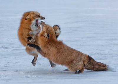 01~Foxes_Fighting~Mid-Atlantic~Arthur~Hyder