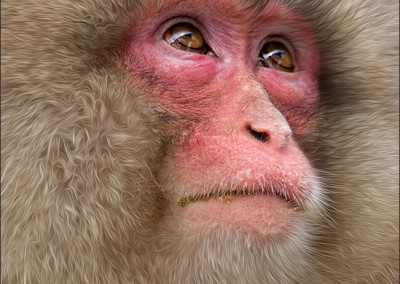 02~Snow_Monkey2~Mid-Atlantic~Ha~Tran