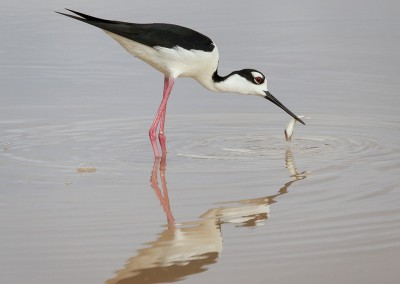 07~Blackneck_Stilt_With_Fish~Mid-Atlantic~Linh~Do