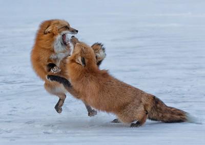 01~Foxes_Fighting~Mid-Atlantic~Arthur~Hyder